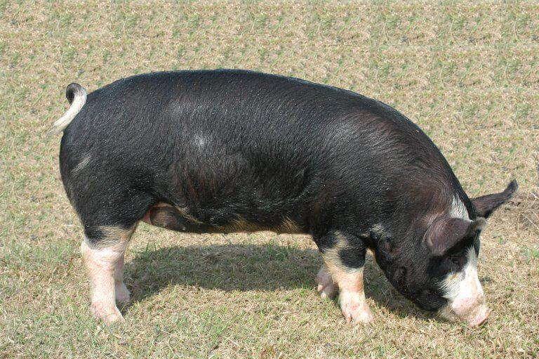 非洲豬瘟事件中臺灣本土黑豬的保育之戰