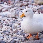 坦布蘇病毒對鴨隻危害之專家意見