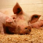 新型豬流感病毒研究之專家意見