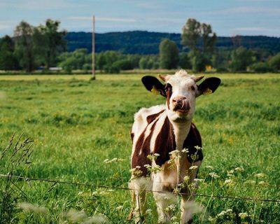 缺水對於乳牛的影響